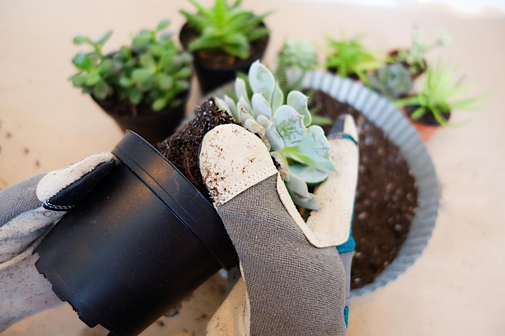 planting succulent garden
