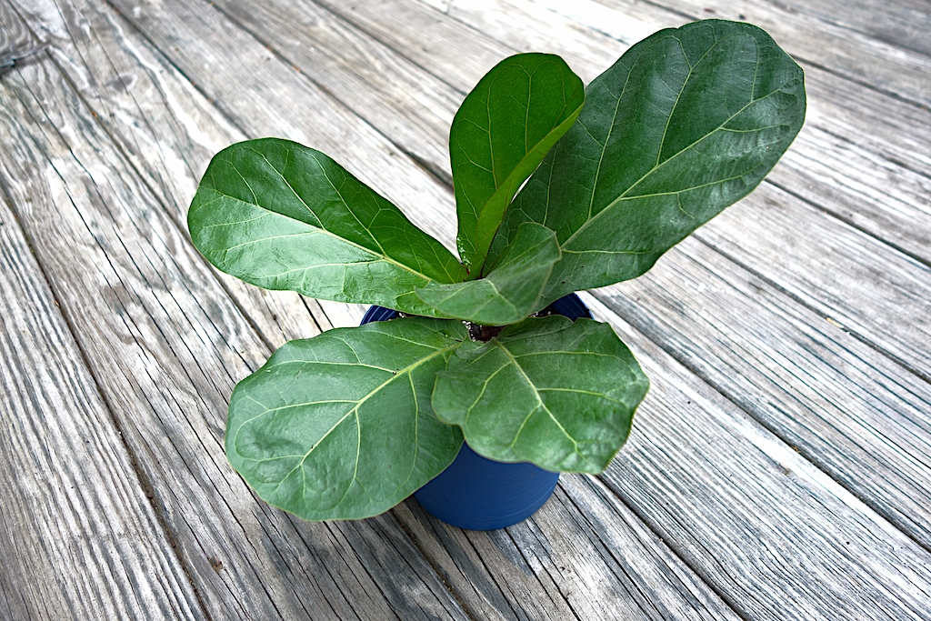 how to propagate a fiddle leaf ficus